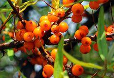 Vitaminok a homoktövisben Fruit, Vegetables, Food, Meal, The Fruit, Essen, Vegetable Recipes, Hoods, Meals