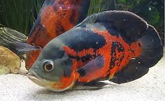 """Great article on tiger-oscar-cichlid """"If you have a larger aquarium and you're looking for an easy-to-care fish that is still very entertaining, consider the Tiger Oscar Cichlid. They are a very hardy fish with amazing coloration and a noticeable personality."""" On sale at https://www.aquariumfishsale.com/products/tiger-oscar-medium Quarter Size  $8.99"""