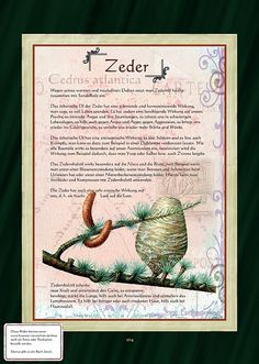 Zeder                                                       … Herbal Plants, Medicinal Plants, Loose Weight Diet, Healing Herbs, Tropical Plants, Wellness Tips, Botanical Illustration, Garden Plants, Planting Flowers