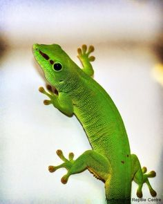 Madagascan Giant Day Gecko- I think a terrarium with these guys would be cool in bb Zeb's jungle themed room.