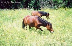 As Raças Portuguesas de Cavalos- o Garrano