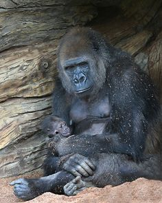 Gorilla mother Imani shares a moment of repose with her baby girl.