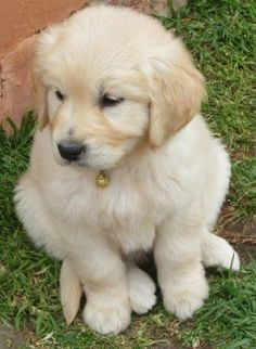 Golden retriever puppy wish they could be puppies FURRRREVER by Stacie Houchin