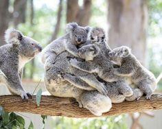 Maman Koala et ses bébés - #Koala joeys cling to an adult koala Koala mother and babies at Currumbin Wildlife Sanctuary #Queensland #Australia - 16 Feb 2016 Credit: Photo by Luke Marsden/Newspix/REX/Shutterstock by parismatch_magazine