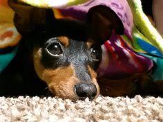 min pin Mini Pinscher, Miniature Pinscher, Doberman Pinscher, Big Dogs, I Love Dogs, Small Dogs, Puppy Love, Min Pin Dogs, Min Pins