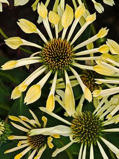 Echinacea 'Passion Flute'  Coneflower has definitely evolved over the past several years. 'Passion Flute' offers an unusual look with its quilled petals. This petal pattern started with 'All That Jazz', a pink coneflower. Now 'Passion Flute' offers a vibrant yellow version. The fluted petals radiate from the golden-yellow center like rays from the sun. The flowers reach up to 4-1/2 inches across, and bloom time is mid- to late summer.