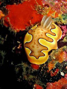 Sea Slug/Nudibranch