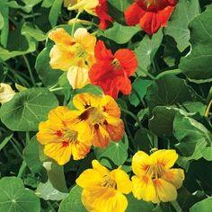 Botanical name: Tropaeolum minus Description Nasturtium Dwarf Jewel Mixture seeds grow colorful flower as annual plant. Edible Plants, Edible Flowers, Colorful Flowers, Beautiful Flowers, Planting Bulbs, Planting Flowers, Sandy Soil, Annual Plants, Hanging Baskets