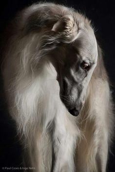 Graceful Borzoi #animals #dogs