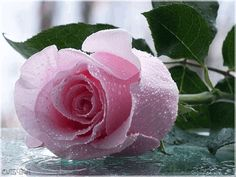 La rosa bella1
