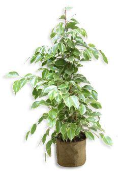 Ficus Golden King 130/150cm Ficus, Deco Design, Decoration, Pots, King, Turquoise, Violet, Taupe, Plants