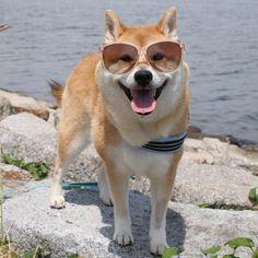 Unijiro #shiba#shibe#shibainu#shibainuuni#shibalovers#shibaoftheday#shibastagram#instashiba#lovepets#lovedogs#loveshiba#dog#doge#doglovers#uni#unistagram#dogstagram#instagood#love#tokyo#japan#happyface#unihalo#柴犬#柴犬うに#dogoftheday#うに#うにはろ#halo#halosta...