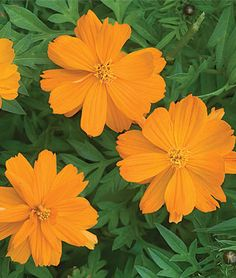 Cosmos Cosmic Orange - An All-America Winner sure to thrive in any garden - is wonderful for cutting.