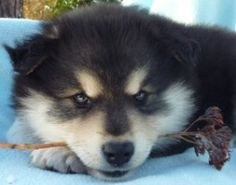 Lappy Puppy - six weeks. Baby Animals, Annie, Fur Babies, Dog Breeds, Dogs And Puppies, Husky, Wildlife, Things To Come, Pets