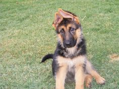 Ear Stages - a pictorial - German Shepherd Dog Forums