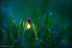 firefly on a grass blade