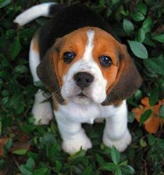 Beagle baby? yessss? <3
