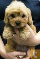 Cavoodle puppy- my next 'baby'!!!!