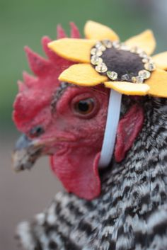 Ba-Gawks: Chickens in tiny hats: Flower chicken fashion Chickens And Roosters, Pet Chickens, Raising Chickens, Chickens Backyard, Chicken Lady, Chicken Eggs, Farm Animals, Funny Animals, Cute Animals