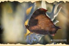 Gray Comma Leafwing Butterfly by GadgetSponge.com