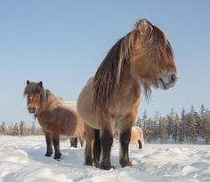 Horses In Snow, Horse Photos, Camel, Animals, Pictures Of Horses, Animales, Animaux, Equine Photography, Camels
