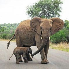 "🐘💖🐘💖 - ""Where are we going, Momma?"" photo phrom via 👉For info about… Elephant Images, Elephant Pictures, Elephant Love, Elephant Gifts, Elephant Art, Animal Pictures, Elephants Photos, Mama Elephant, Cute Baby Animals"