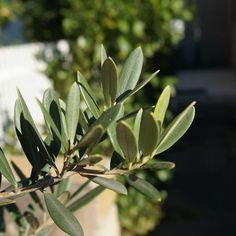 olivy on my daily life and tagged matchaatnoon, nature, olive, on my daily life, sunlight, tree