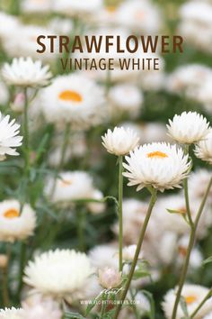Strawflower 'Vintage White' Helichrysum bracteatum (m.)  A versatile and textural addition to the cutting garden, strawflower can be used fresh and also dried for use in fall bouquets and wreaths. These ivory-white flowers have an opalescent, heirloom quality that's great for wedding work. Also known as everlasting flowers, the color and shape of these papery blooms will last indefinitely when dried. Pollinators love them.  #floret #growfloret #driedflowers Growing Flowers, Cut Flowers, Dried Flowers, White Flowers, Fall Bouquets, Types Of Plants, Ivory White, Amazing Gardens, Garden Landscaping