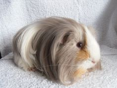 my cavy is very cute pet   Peruvian guinea pig   Long haired guinea pig