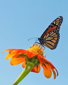 Featured today in Premium FAA Artists! From Small World Collection by artist Dawn Currie. Other Fine Art America Features: Butter fly, Macro Photography, The Road To Self Promotion, 500 Views. Side view a Monarch Butterfly perched dramatically on a bright orange blossom. Companion piece to Monarch I. #nature #butterfly #photography
