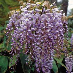 Vigorous, quick-growing, and tirelessly floriferous, this Wisteria is certain to become a classic for the American garden.
