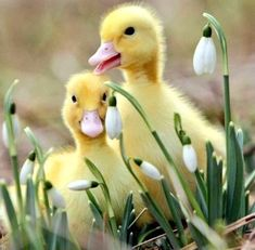 Who are you calling an ugly duckling? Wildlife photographer conjures up some animal magic Duveteux comme le printemps The Animals, Cute Little Animals, Happy Animals, Farm Animals, Funny Animals, Funny Birds, Nature Animals, So Cute Baby, Cute Babies