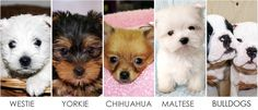 Deal in all type of Puppies Breeds & Kittens in Manhattan NY