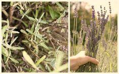 V marci treba strihať levanduľu! Dandelion, Flowers, Plants, Dandelions, Plant, Taraxacum Officinale, Royal Icing Flowers, Flower, Florals