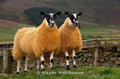 blue faced leicester sheep - Google Search