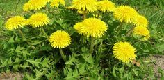 What is Dandelion (Taraxacum officinale)? How to Eat dandelion, how to forage for dandelion. Dandelion recipes, where to buy dandelion seeds. Mustard Plant, Dandelion Leaves, Dandelions, Dandelion Flower, Taraxacum Officinale, Edible Wild Plants, Perennial Vegetables, Wild Edibles, Survival Food