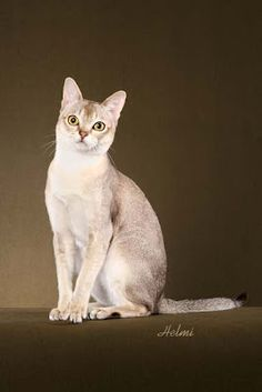 I am pretty sure my cat is a mix of a tabby and a singapura. Must remember for later I Miss My Cat, Singapura Cat, Sphinx Cat, Mean Cat, Beautiful Kittens, Cat Reference, Pusheen Cat, Curious Cat, Cat Photography