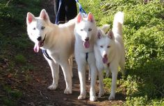 White Siberian Huskies-This is what my dog is :)