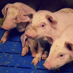 Emakon oloissa ja porsaiden vierotuksessa on eroja erilaisten tuotantotapojen osalta. Kurkkaa Eläin ruokana - kuluttajan oppaasta lisää: elainruokana.elaintieto.fi ja opi hahmottamaan, miten eläintenhyvinvointi toteutuu kotimaisilla tuotantotiloilla.