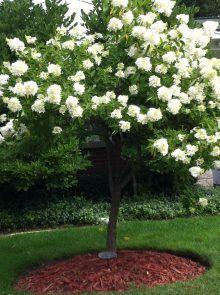 PeeGee Hydrangea Tree - H. paniculata 'Grandiflora' (PG ...