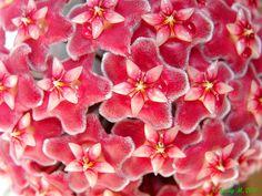 254 Hoya pubicalyx - Pink Silver