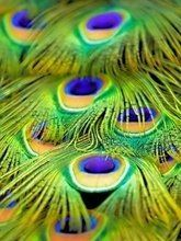 Beautiful tail feathers of a peacock. Types Of Feathers, Bird Feathers, Summer Pictures, Pretty Pictures, Summer Pics, Peacock Pictures, Peacock Decor, Peacock Art, Peafowl