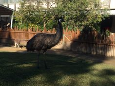 This is an Emu