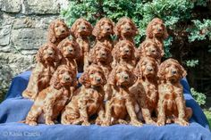 Whole lotta Irish Setters puppies Laura Kolbach - photo Kasia Czapla. Amazing!