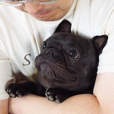 """Uhm Dad?""... ""your Love Hug just turned into a Squeeze again"", ❤Theo (@hokus_theo) French Bulldog Puppy"