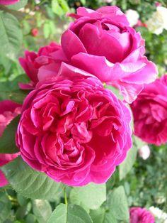 'Lady of Megginch' |  Shrub.  English Rose Collection. Production 2006 United Kingdom David Austin