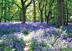 One of the great pleasures of an Essex spring is wandering among the lakes of bluebells that suddenly spill out in April and May through many local woods. Here are four of the county's best spots for a springtime stroll courtesy of Pheobe Taplin Family Days Out, Weekend Breaks, Wonderful Places, Us Travel, Spring Time, Wander, Woods, Explore, Adventure