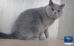 British Shorthair cattery homepage https://starfall.lt