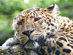 Sold today @Canstockphoto: #Amur #leopard (Panthera pardus orientalis) #animal #wildlife http://www.canstockphoto.com/amur-leopard-panthera-pardus-orientalis-22201570.html