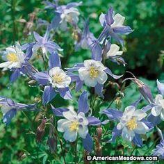 Blue Columbine Seeds, Aquilegia caerulea - Wildflower Seeds from American Meadows